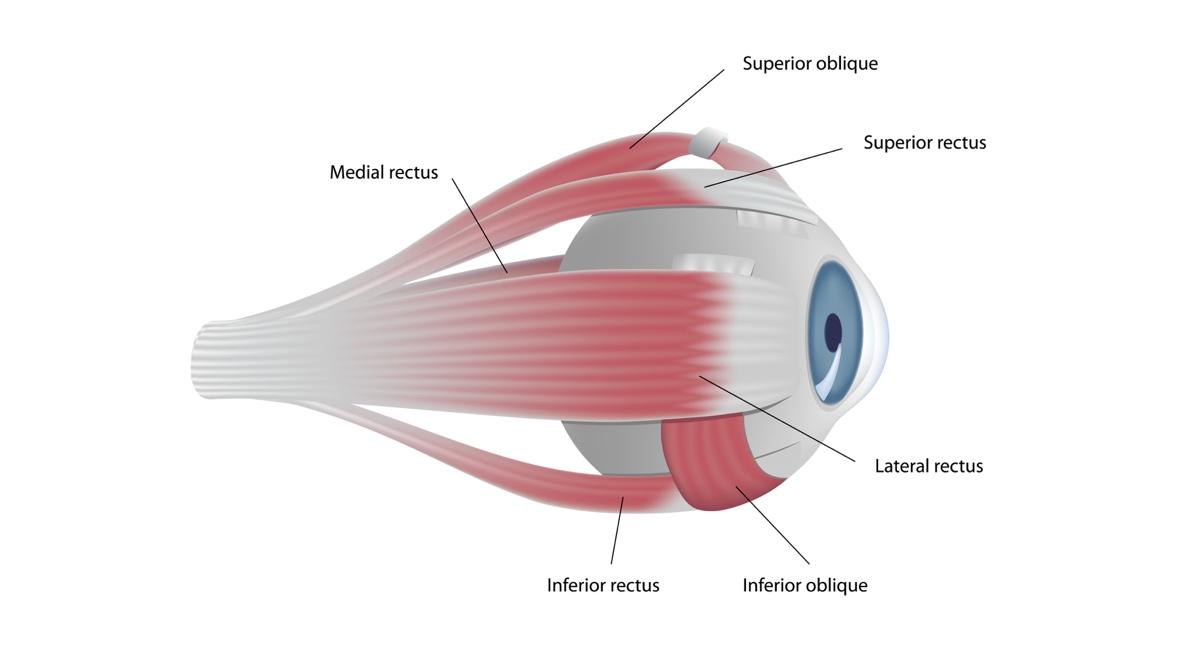 Øyemusklene